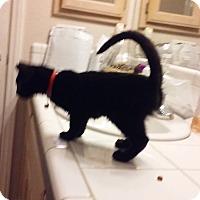Domestic Shorthair Kitten for adoption in Hesperia, California - Lentil
