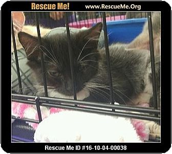 Maine Coon Kitten for adoption in Waldorf, Maryland - Sabrina