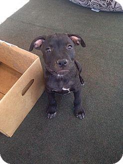 Pit Bull Terrier/Labrador Retriever Mix Puppy for adoption in Santa Barbara, California - Dozer