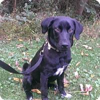 Adopt A Pet :: Peyton Boy - New Oxford, PA
