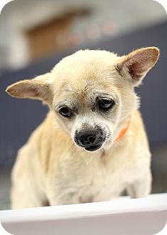 Chihuahua/Pomeranian Mix Dog for adoption in College Station, Texas - Clover (7.3 pounds)
