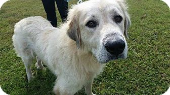 Golden Retriever/Great Pyrenees Mix Dog for adoption in Maryville, Tennessee - Samantha