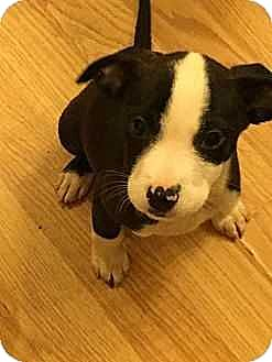 Labrador Retriever/American Pit Bull Terrier Mix Puppy for adoption in Manhattan, New York - 8-weeks Lab/Pittie Mix Pups (9)