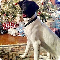 Adopt A Pet :: Pepper, Pointer mix - Providence Forge, VA