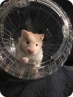 Hamster for adoption in St. Paul, Minnesota - Crunch