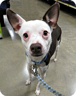 Chihuahua/Terrier (Unknown Type, Small) Mix Dog for adoption in McKinney, Texas - Cheech