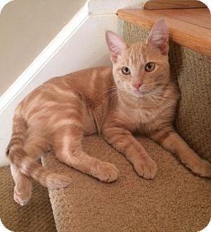 Domestic Shorthair Kitten for adoption in Carlisle, Pennsylvania - Prancer