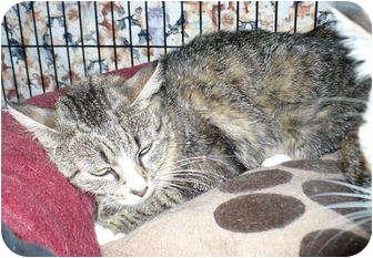 Domestic Shorthair Cat for adoption in Colmar, Pennsylvania - Charmaine