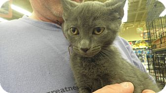 Russian Blue Cat for adoption in Warren, Michigan - Emme