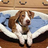 Adopt A Pet :: Nigel - Homewood, AL