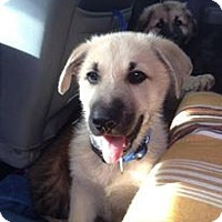 Adopt A Pet :: Charlie - Westbank, BC
