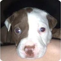 Adopt A Pet :: Kuma - Mesa, AZ