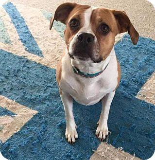 Beagle Mix Dog for adoption in Blacklick, Ohio - Jasmine