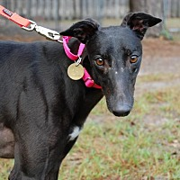 Greyhound Dog for adoption in Cherry Hill, New Jersey - Free Hopper