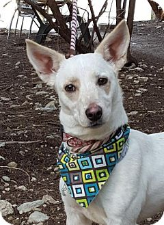 Cardigan Welsh Corgi/Cattle Dog Mix Dog for adoption in Lago Vista, Texas - Zoey