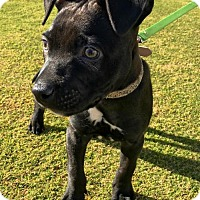 Adopt A Pet :: Killian - Huntington Beach, CA