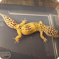 Adopt A Pet :: Number Eleven, a leopard gecko - Bristow, VA