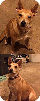 Carolina Dog/Carolina Dog Mix Dog for adoption in Chantilly, Virginia - Penny