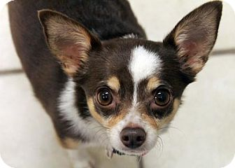 Chihuahua Dog for adoption in Waco, Texas - Zoe the Office Dog