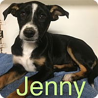 Adopt A Pet :: Jenny in CT - Manchester, CT