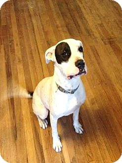 Great Dane/Pit Bull Terrier Mix Dog for adoption in Kirkland, Washington - Atlas - Sweet Deaf Boy