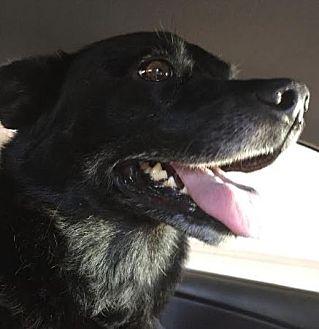 German Shepherd Dog/Australian Cattle Dog Mix Dog for adoption in San Diego, California - Rosco