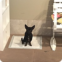 Chihuahua Mix Dog for adoption in Valencia, California - Junior