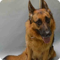 German Shepherd Dog Dog for adoption in Tully, New York - CHASE