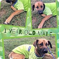 Adopt A Pet :: JOLLY - Lexington, NC