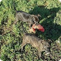 Adopt A Pet :: Bindi - Greenville, NC