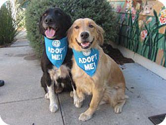 Labrador Retriever/Border Collie Mix Dog for adoption in Pacific Grove, California - Dahlia Lab