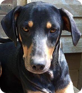 Doberman Pinscher/Miniature Pinscher Mix Dog for adoption in Memphis, Tennessee - Spice~UPDATE!