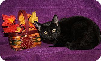 Domestic Shorthair Cat for adoption in Marietta, Ohio - Lexus (Neutered)