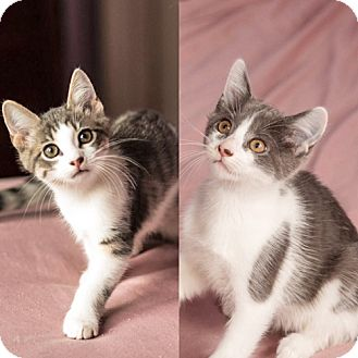 Domestic Shorthair Kitten for adoption in Brooklyn, New York - Mobaby & Magoo, Magnificent Bonded Babies