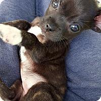 Adopt A Pet :: Diva Sarah - Sneads Ferry, NC