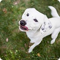 Adopt A Pet :: Powell (Has Application) - Washington, DC