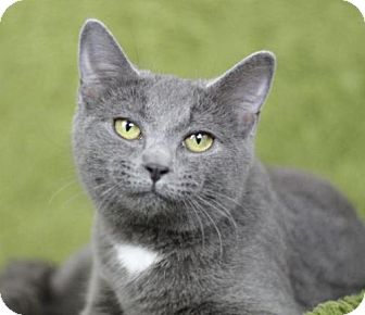 Domestic Shorthair Cat for adoption in Raleigh, North Carolina - Chrome H