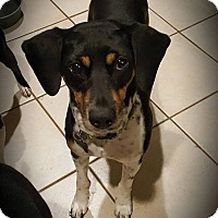 Adopt A Pet :: Katniss - Springfield, MO