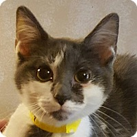 Domestic Shorthair Cat for adoption in Faribault, Minnesota - lilac
