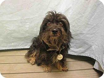 Yorkie, Yorkshire Terrier Mix Dog for adoption in Upper Marlboro, Maryland - *ZANE