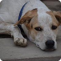 Adopt A Pet :: Tiger *A handsome pup* - Monroe, NJ