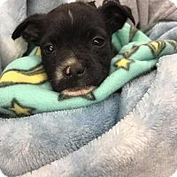 Adopt A Pet :: Orion - Wichita Falls, TX