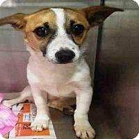 Adopt A Pet :: CHI CHI - Atlanta, GA
