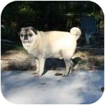Pug Dog for adoption in Windermere, Florida - Harley
