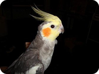 Cockatiel for adoption in St. Louis, Missouri - Jaco