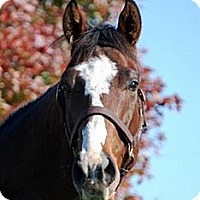 Thoroughbred for adoption in Nicholasville, Kentucky - James