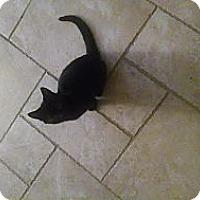 Adopt A Pet :: Cobalt ( miracle baby) - Sterling Hgts, MI