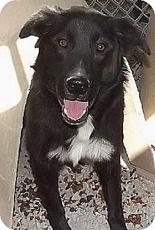 Border Collie Mix Dog for adoption in Savannah, Missouri - Willie