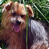 Adopt A Pet :: Rocket - Bridgeton, MO
