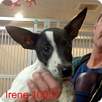Adopt A Pet :: Irene - baltimore, MD